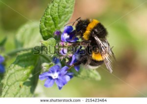 stock-photo-buff-tailed-bumblebee-on-flower-215423464