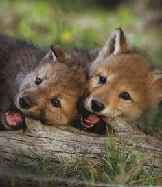 red-wolf-puppies